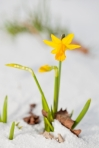 Daffodil Blooming Through The Snow Stock Photo By -Marcus-