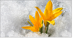 flowers in the ice